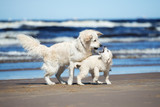 golden retriever dog playing with a puppy on the beach
