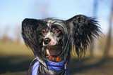 The portrait of a black Chinese Crested Dog outdoors at sunny windy weather
