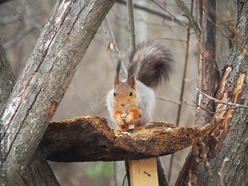 Tuinposter Eekhoorn red squirrel on a feeding trough in the forest