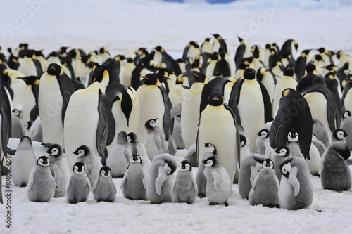 Poster Emperor Penguins with chick