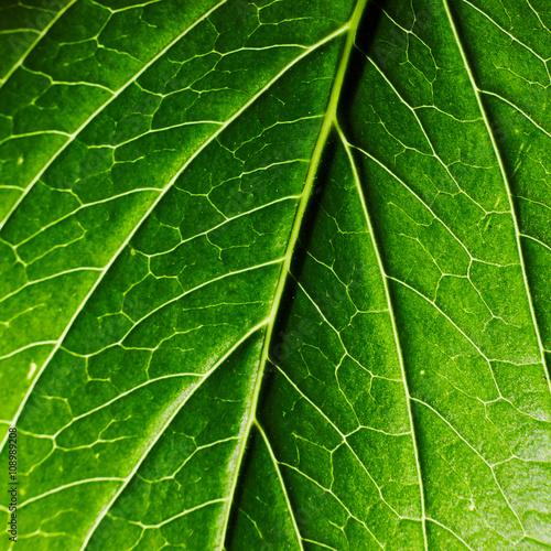 Zdjęcia na płótnie, fototapety, obrazy : Foglia verde brillante texture