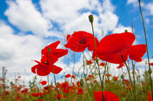 Foto op Canvas Klaprozen Blooming poppies