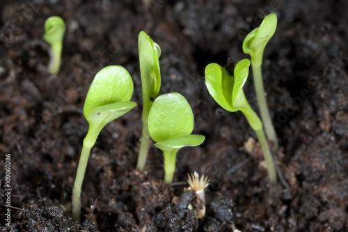 Leinwanddruck Bild Kornblume; Centaurea; cyanus; Keimling,