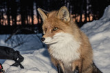 Curious Mr fox