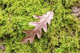 foglia di quercia