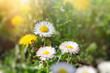 Daisy flowers in meadow - beautiful spring