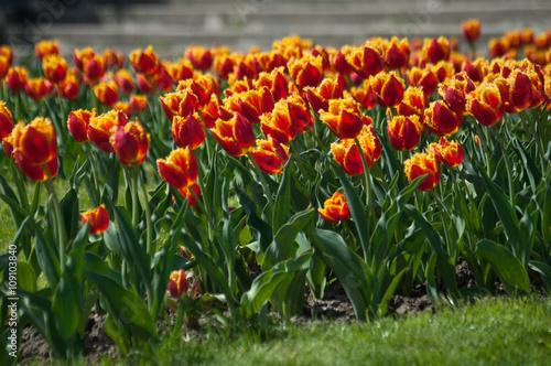 Zdjęcia na płótnie, fototapety, obrazy : Beautiful colorful double tulip field