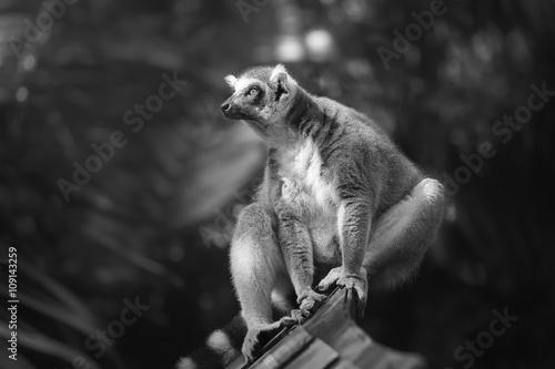 Ring-tailed lemur sun-loving primates sitting among trees © boule1301