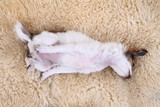 8 weeks chihuahua puppy is sleeping