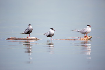 common tern in natural habitat (sterna hirundo)