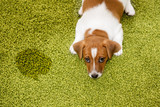 Puppy Jack russell terrier lying on a carpet and  looking guilty - 109191221