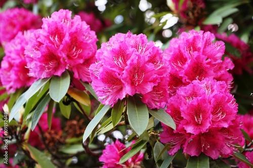 Fotobehang Azalea Rhododendron bush with large flowers