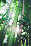 Bamboo grove, bamboo forest natural green background