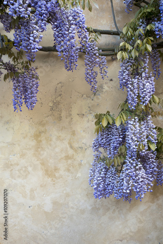 Purple Wisteria flowers on grunge wall
