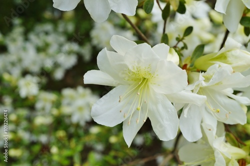 Fotobehang Azalea White azalea flowers on a bush in the spring garden