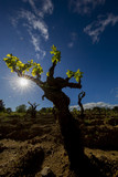 Ceppo centenario di vite in una vigna della Sardegna con sfondo un bellissimo cielo blu - foto in controluce che fa emergere le foglioline verdi.