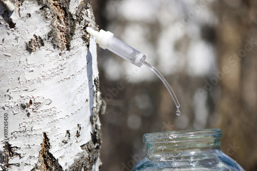 Collecting juice from birch, how to get birch juice