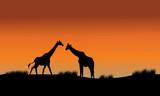 Silhouette of two giraffe in fields