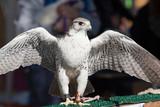 Gheppio (Falco tinnunculus) su una tavola di legno per il test di volo