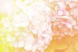 Abstract soft light Hydrangea flower for background