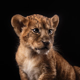 little lion cub  on black background