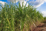 Sugarcane plantation farm landscape