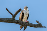 Osprey in a tree with a Rockfish over the Chesapeake Bay