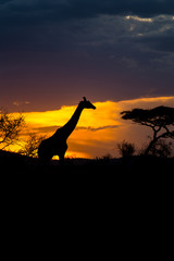 A Rothschild's giraffe walking in front of the sunset