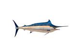 Marlin - Swordfish,Sailfish saltwater fish (Istiophorus) isolate