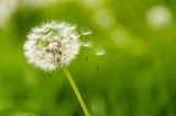 dandelion spores blowing away
