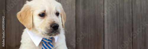 Golden retriever puppy in business suit tie