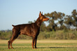 Doberman Pinscher dog with cropped ears and red and tan marking lying down playing with a stick