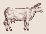 Sketch cow. Hand-drawn vector illustration