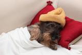 Bassotto riposa a casa a letto con cappellino