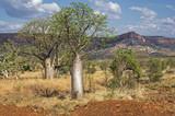 Baobab in der Kimberley Region