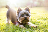Yorkshire terrier waiting for play, sunlight background - 109448880