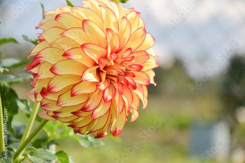 Zdjęcia na płótnie, fototapety, obrazy : Close up of Dahlia flower in garden on spring time