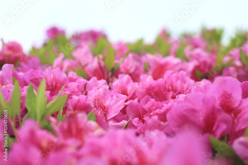 Plexiglas Roze 初夏の躑躅