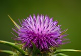 Beautiful flower head of milk thistle, Silybum marianum, medicinal plant