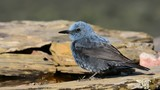 Blue Rock Thrush perched among the rocks.
