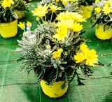 Margherite gialle, crisantemi