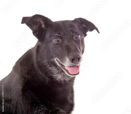 Alter Hund mit grauem Bart im Portrait