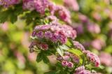 Gruppi di fiori rosa in un arbusto durante la primavera