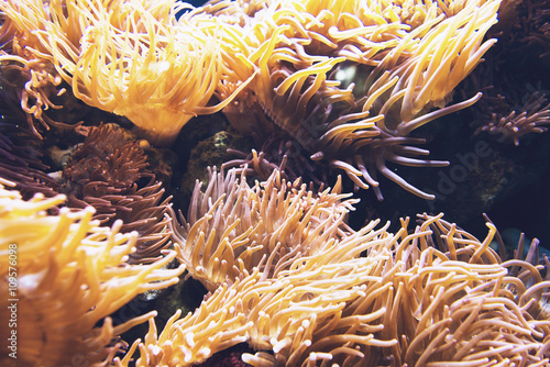 Orange sea anemone under water