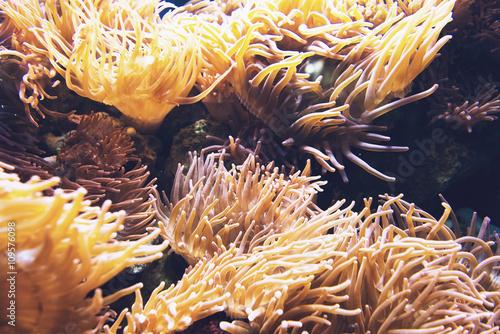 Orange sea anemone under water