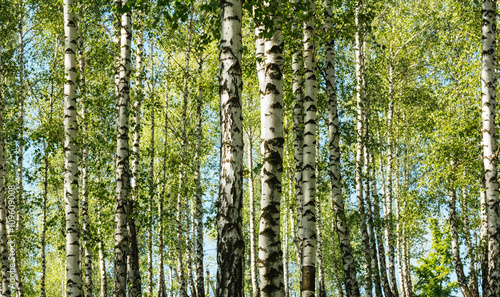 Birch tree forest