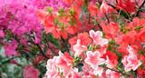 Beautiful blooming azalea