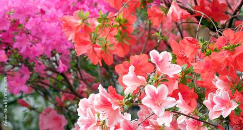 Aluminium Azalea Beautiful blooming azalea