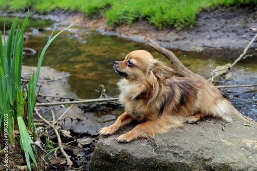 Papiers peints Nature Chihuahua op steen in beekje