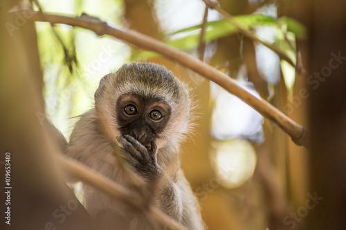 obraz PCV Adorable baby vervet monkey playing on a tree in the Amboseli national park (Kenya)
